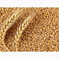 Закупаем некондиционное зерно пшеницы (головневое, сажковое, не ГОСТ)