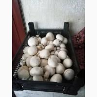 Продаем грибы шампиньоны