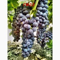 Черенки и саженцы технических(винных) сортов винограда