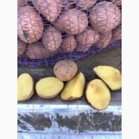 Продам Картошку продовольственную 5+ Гала, Ред Леди, Сантэ, Коломбо, Королева Анн