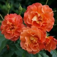 Саженцы роз, закрытая корневая