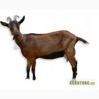 Продаются Альпийские козы