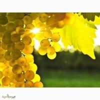 Продам виноград технічних (європейских) сортів