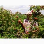 Продам саженцы малины, ежевики
