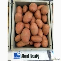 Продам Дешево семенной картофель / насіннєва картопля