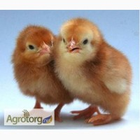 Продам цыплят редбро и мастер