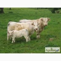 Купуємо худобу в Немирівському, Ілінецькому, Гайсинському, Оратівському, Теплицькому рн