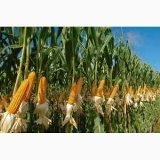 Семена кукурузы Даниил (ФАО - 280)