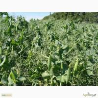 Продаем семена словацкого посевного желтого гороха Свит