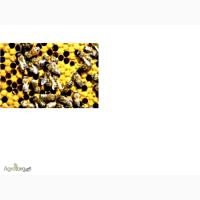 Продам семьи пчёл и пчёлопакеты