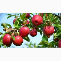 Продам яблоки