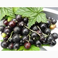 Порошок чёрной смородины клетчатка ягодная пищевая