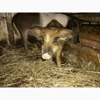 Продается свиноматка мясной породы