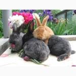Продаю кроликов породы серебристый