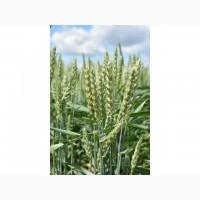 Продам семена пшеницы тризо 1я репр-ция!харьковская обл.!опт