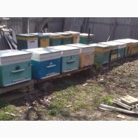 Продам пчелосемьи Украинская степная