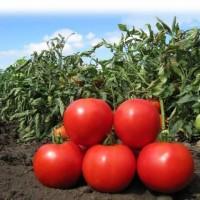 Продам помидоры на томатный сок, Херсонская обл