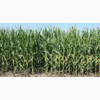 Гибрид кукурузы ДН Орильский Orilsky