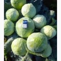 Продам свежую капусту
