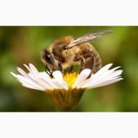 Пчелы Украинская Степная Пакеты Семьи Пчелопакеты