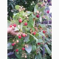 Продам свежую ягоду малину в Луганске
