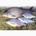 Продам речную рыбу оптом: лещ, судак, тарань, окунь, густера, толстолобик. Свежемороженая
