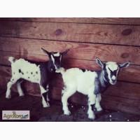 Камерунские карликовые козлята (пары)