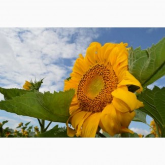 Пропонує гібрид соняшнику Осман ІМІ
