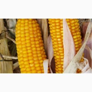 Продам насіння високоурожайної кукурудзи
