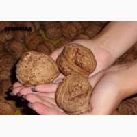 Саженцы, посадочный материал, привой грецкого ореха сорт ИНТР