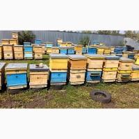Продам пчелосемьи, пчёлы, Пасека