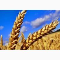 Куплю пшеницю ГОСТ
