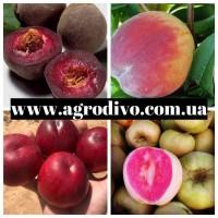 Огромный ассортимент новых сортов персика, нектарина, яблони, абрикоса