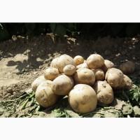 Продам картошку 40 тонн