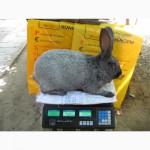 Кролики мясного направления