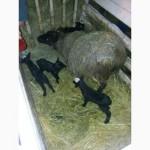 Романовские овцы, Экспорт, Консультации, помощь овцеводам