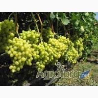 Виноград продам оптом с поля (столовый и технический): от 6 грн./кг