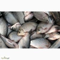 Речная рыба оптом, карась. Купить карась, купить карп