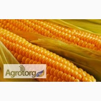 На постоянной основе закупаем кукурузу по Винницкой обл