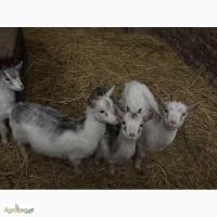 Козочки от высокоудойных коз