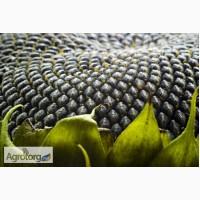 Семена подсолнечника гибрид (гранстаростойкий) Бонд