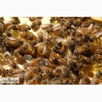 Продам пчел, пчелосемьи
