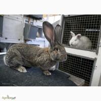 Продам кроликов породы Бельгийский великан (Фландр, Ризен)