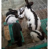 Продам кроликов породы Бельгийский великан (Фландр, Ризен), Строкачь