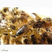 Продам бджоломатки породи країнка