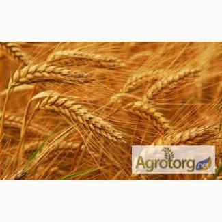 Закупаем пшеницу 6 класса