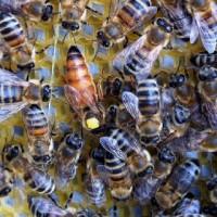 Плодные и неплодные пчеломатки Бакфаст