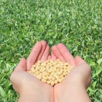 Семена сои Калипсо-среднеспелый (2900 CHU) высокоурожайный сорт нового поколения