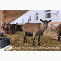 ВЫБРАКОВКА - взрослые козы альпийской породы