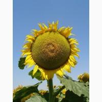 Насіння соняшнику, гібрид Матадор, іноземної селекції стійкий до гранстару